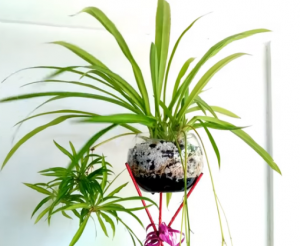 How to Prune Spider Plant